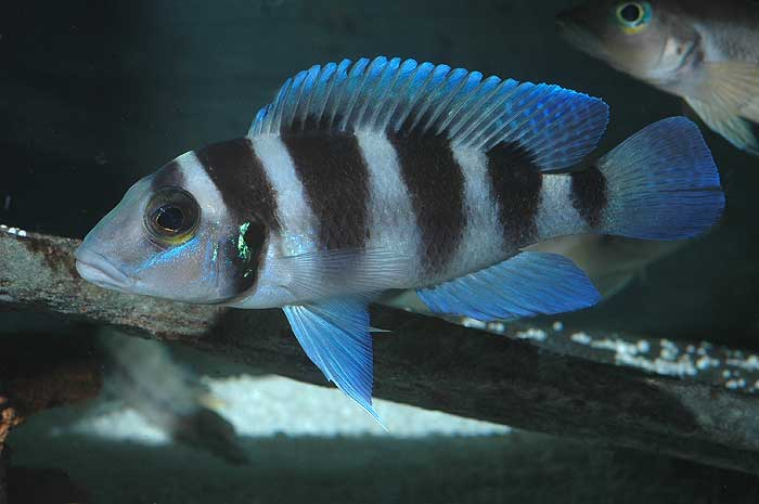 Neolamprologus tretocephalus. Patrick Tawil auteur.