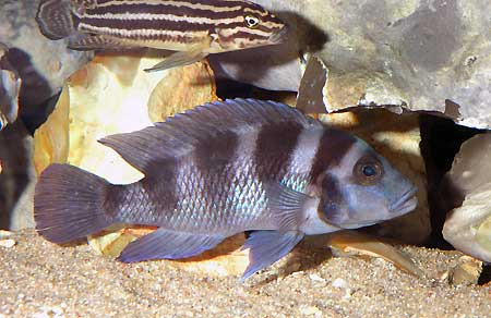 Neolamprologus tretocephalus, gros individu âgé en aquarium.