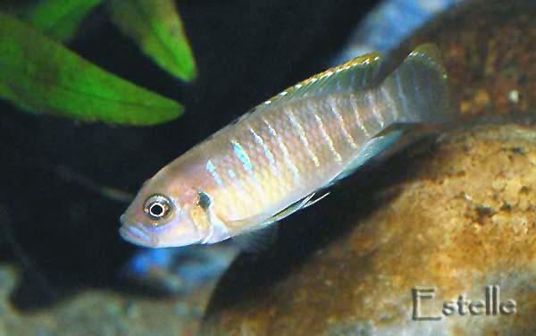 Neolamprologus brevis mâle.