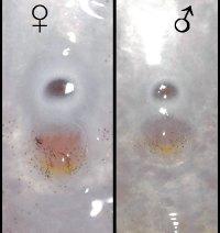 Diférence entre les papilles génitales de Triglachromis otostigma, male et femelle.