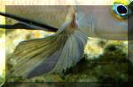 nageoire pectorale N. pectoralis