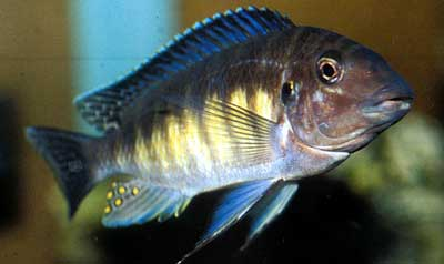 Petrochromis orthognathus (©Jérôme Thierry).