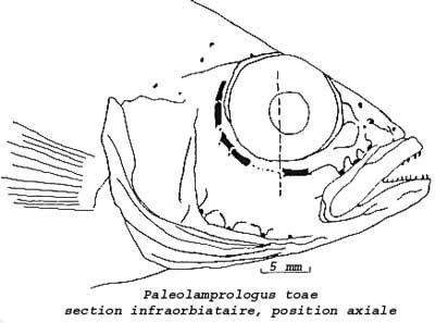 Ostéologie du crane de Paleolamprologus toae. Robert Allgayer