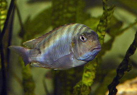 Pseudosimochromis curvifrons, individu sauvage.