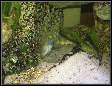 Pseudosimochromis curvifrons, et son nid.