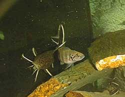 N. savoryi et Synodontis petricola.