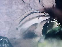 Telmatochromis brichardi