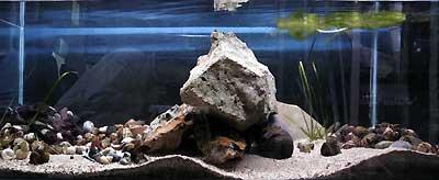 Aquarium consacré aux Telmatochromis vittatus | Cichlidé du lac Tanganyika.