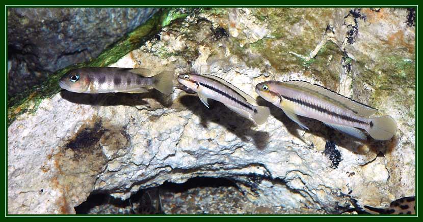 Couple de Telmatochromis vittatus et Lepidiolamprologus aff. boulengeri.