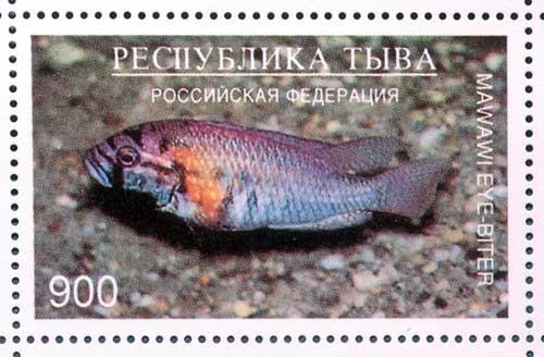 Haplochromis ( Astatotilapia ) burtoni.