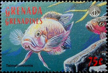 Telmatochromis dhonti en timbre.