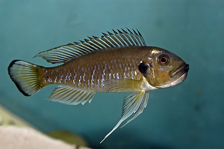 Triglachromis en incubation buccale.