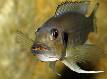 Triglachromis otostigma, femelle.
