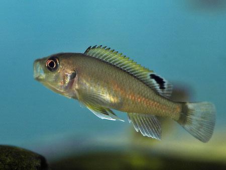 Triglachromis otostigma, alevin pourvu d'un ocelle dans la nageoire dorsale.