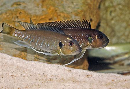 Triglachromis, couple sauvage dans un aquarium spécifique.
