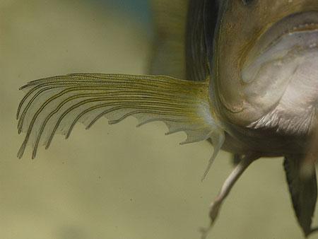 Triglachromis otostigma, détail d'une nageoire pectorale.