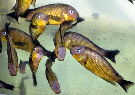 Tropheus brichardi de Namansi, en aquarium à Dar es Salaam.