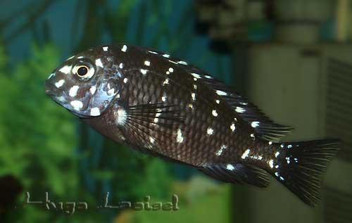 Tropheus duboisi (livrée juvénile) en aquarium.