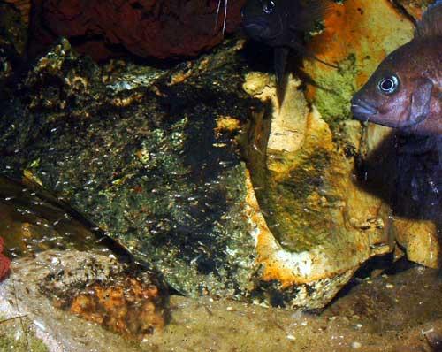 Variabilichromis moorii et ses alevins en aquarium.