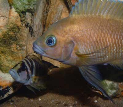 Variabilichromis moori.