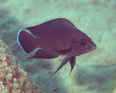 Variabilichromis moori photographié dans le lac Tanganyika par Eric Genevelle.