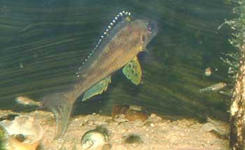 Xenotilapia papilio (le père surveillant sa progéniture qui broute tranquillement la roche).