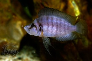 "Altolamprologus sp. compressiceps ""shell""."