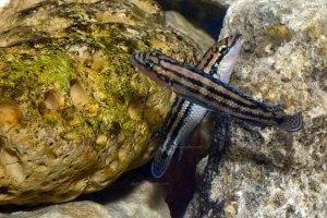 Joute entre deux Julidochromis dickfeldi.