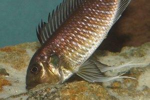 Femelle Triglachromis juste après la ponte, l'oviducte est saillant.