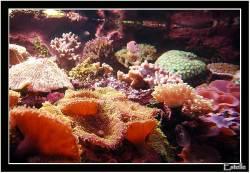 maao-coraux