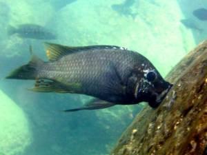 Petrochromis sp. texas