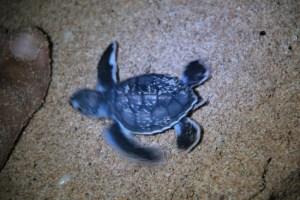 Jour 168 : Ningaloo Reef #1 – Assister à la ponte d'une tortue au clair de lune !