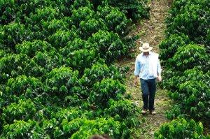 Paysan colombien marchant dans une plantation de café