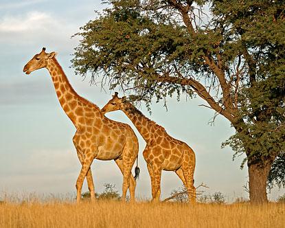 African Giraffes  Giraffe Safari