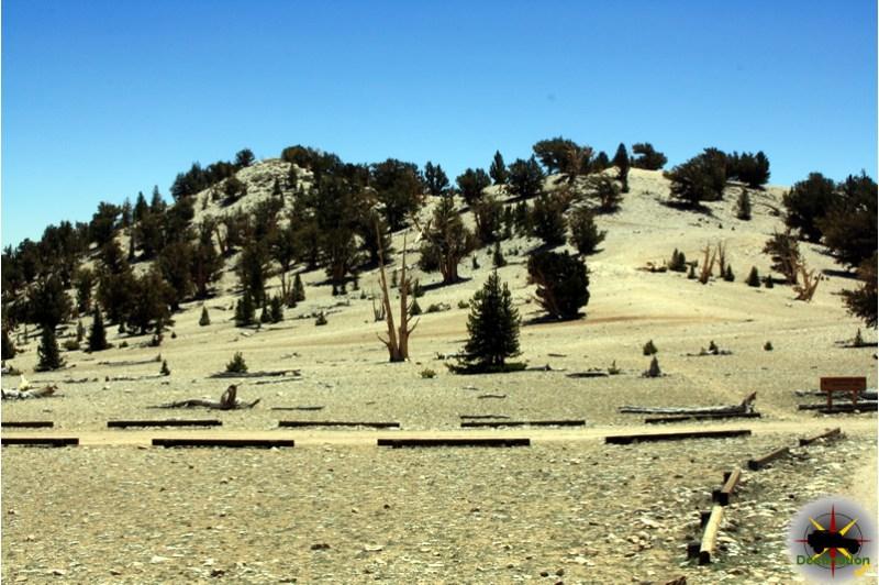 Bristle Cone grove located high in the White Mountains.