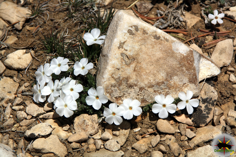 Photographed in the White Moundtains, Phlox diffusa is a small white flowering plant which prefers alpine and sub-alpine environments.
