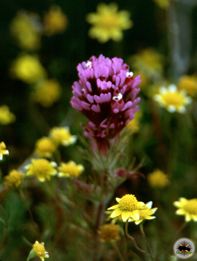 Owls Clover photographed in the California Poppy Reserve - Photo by James L Rathbun