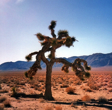The original Joshua Tree of the Us Cover. Photo made Dec. 19, 1994 |Source= Joho345 – @U2 (www.atu2.com)
