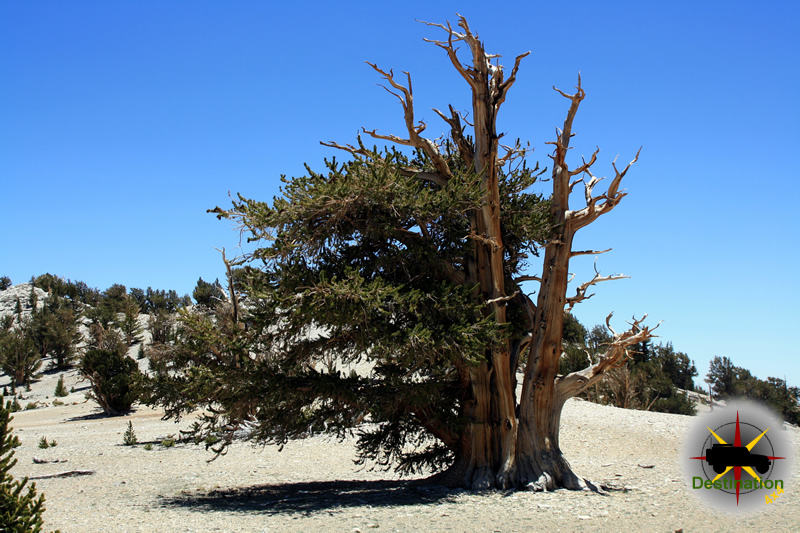 A Bristlecone Pine (not the oldest) located in the White Mountains, CA