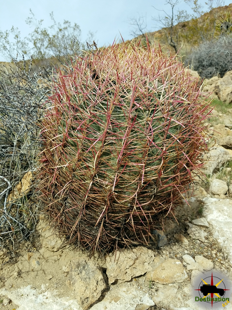 A Barrel Cactus on a rock out-cropping in the Mojave National Preserve.