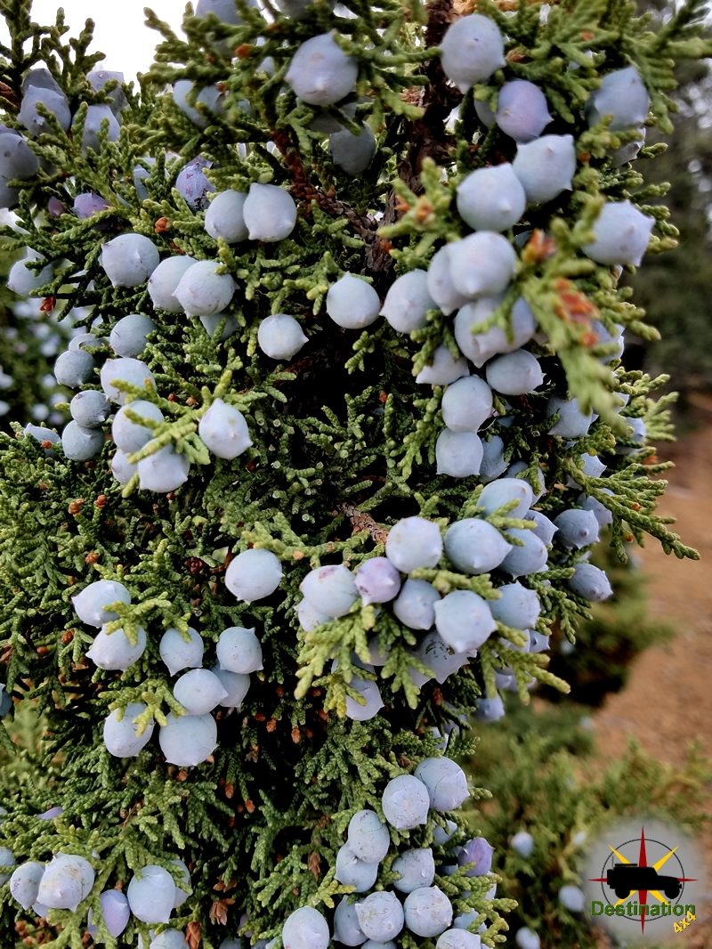 A close up of Juniper Berries.