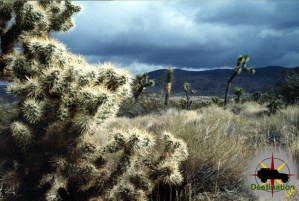 Silver Cholla waiting for an incoming storm.
