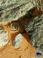 Speckled Rattlesnake ( Crotalus mitchellii )