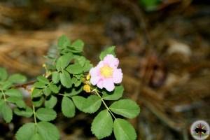 California Wild Rose (Rosa californica) found around Convict Lake, California