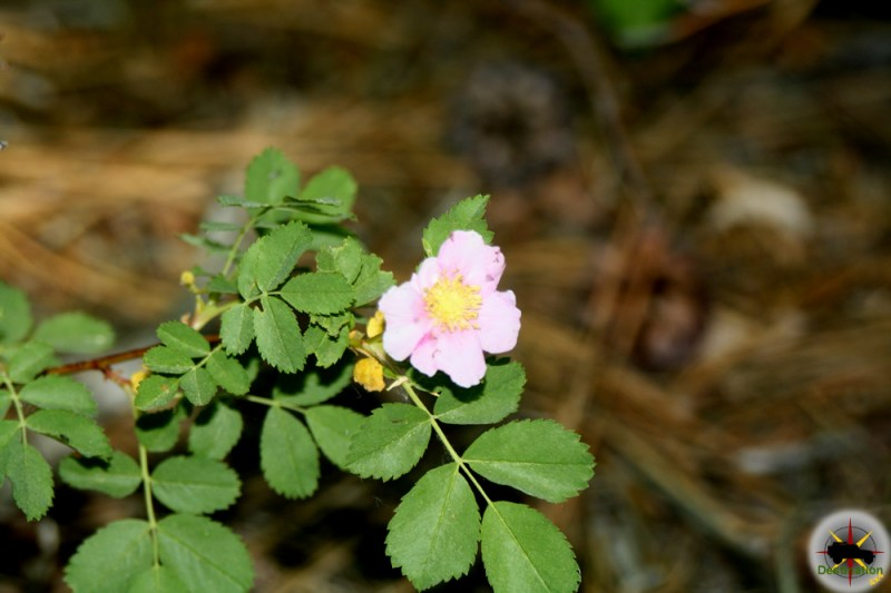 California Wild Rose (Rosa californica) found around Convict Lake, California