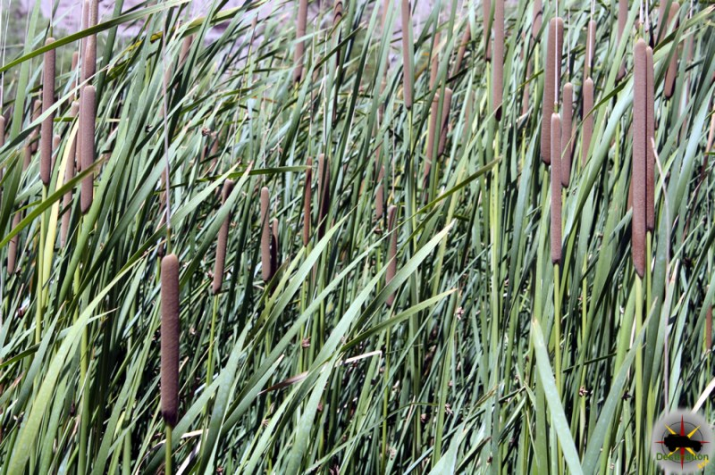 Southern Cattail (Typha domingensis)
