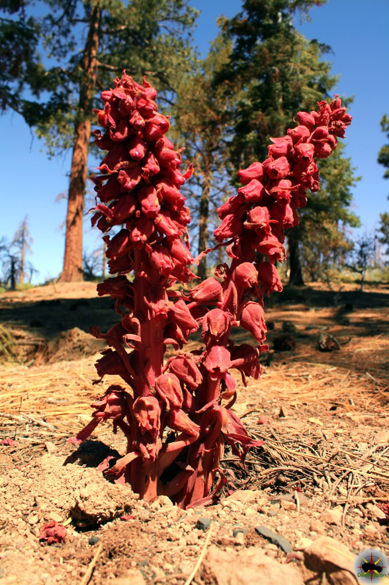 Snow plant (Sarcodes sanguinea) in Big Bear, California