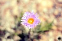 Mojave-aster ( Xylorhiza tortifolia )