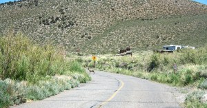 A deer walking the road into Convict Lake Campground