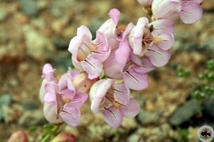 Penstemon palmeri flower
